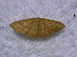 Image of Asthene Wave Moth