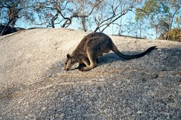 Image of Mareeba Rock Wallaby