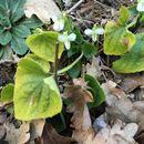 Image of <i>Viola alba</i>