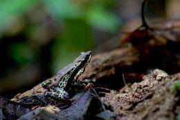 Image of Pebas Stubfoot Toad