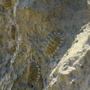 Image of scaly chiton