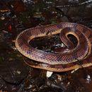 Image of Wucherer's Ground Snake