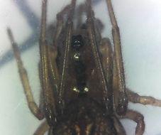 Image of <i>Pachygnatha tristriata</i> C. L. Koch 1845