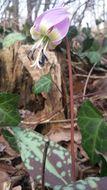 Image of <i>Erythronium dens-canis</i>
