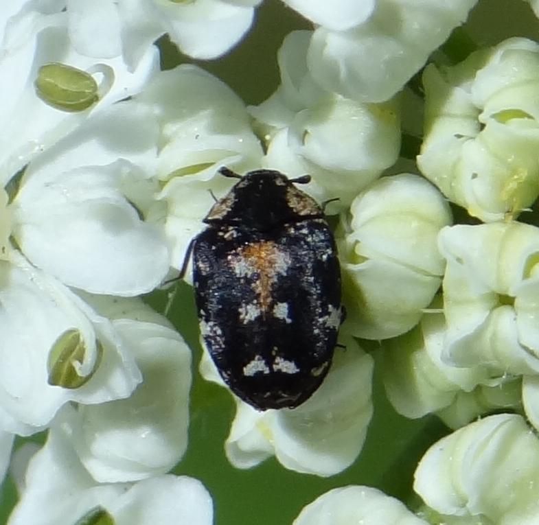 Image of <i>Anthrenus lepidus</i> Le Conte 1854