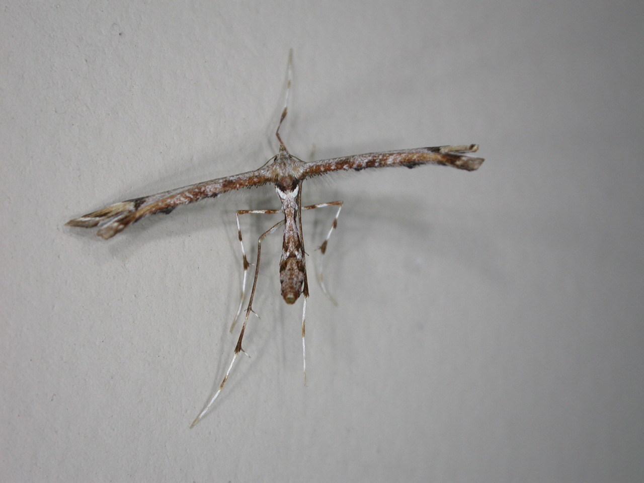 Image of <i>Platyptilia falcatalis</i> Walker 1864