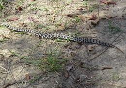 Image of Dusky pygmy rattlesnake