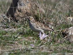 Image of Wood lark