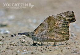 Image of <i>Libytheana carinenta mexicana</i> Michener 1943