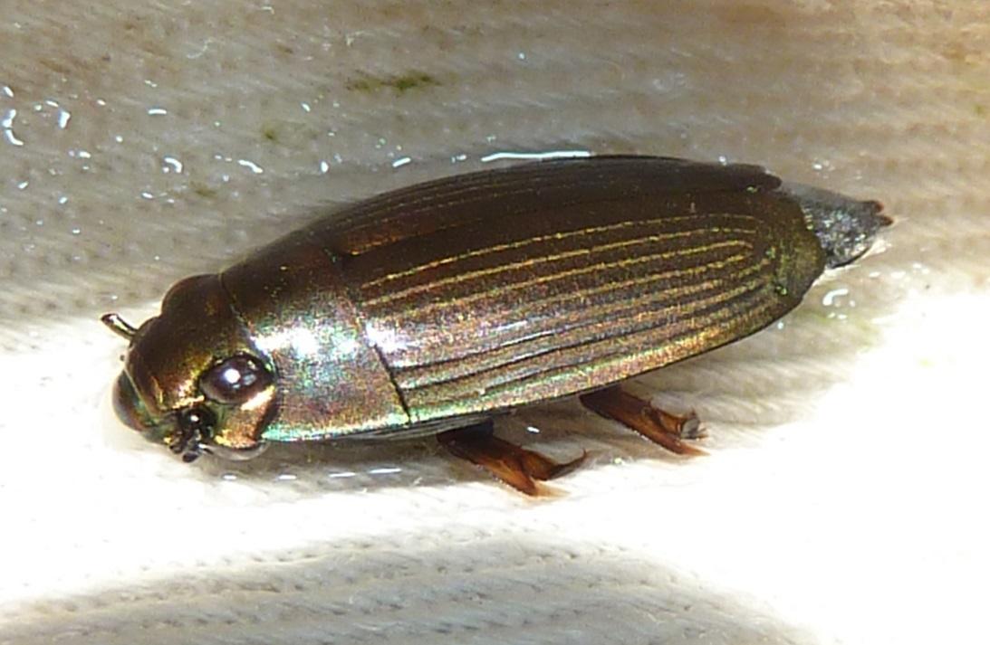 Image of <i>Macrogyrus oblongus</i>