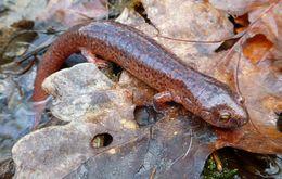 Image of Northern red salamander
