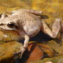 Image of Mountain Chorus Frog