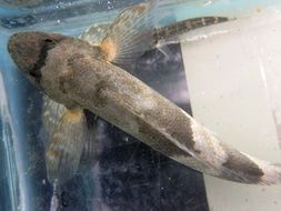 Image of Torrent fish