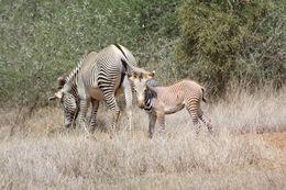Image of Grevy's Zebra