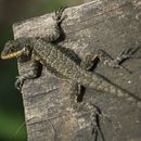 Image of Amazon Lava Lizard