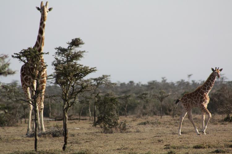 Image of Reticulated Giraffe