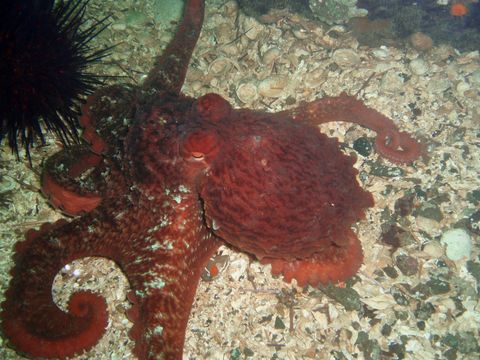 Image of North Pacific giant octopus