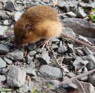 Image of Pacific Jumping Mouse