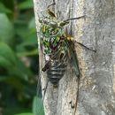 Image of chorus cicada