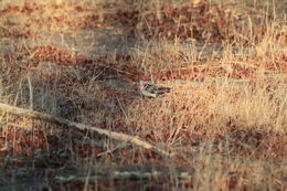 Image of Southern Red-billed Hornbill