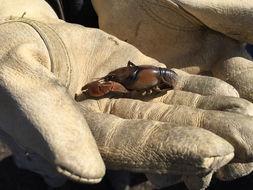 Image of prairie crayfish