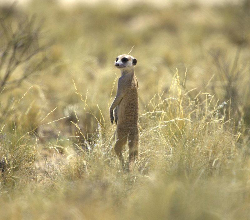 Image of Meerkat