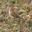 Image of Red-capped Lark