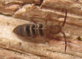Image of <i>Orchesella hexfasciata</i> Harvey 1951