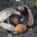 Image of Coconut shell octopus