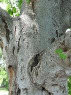 Image of <i>Croton megalobotrys</i>