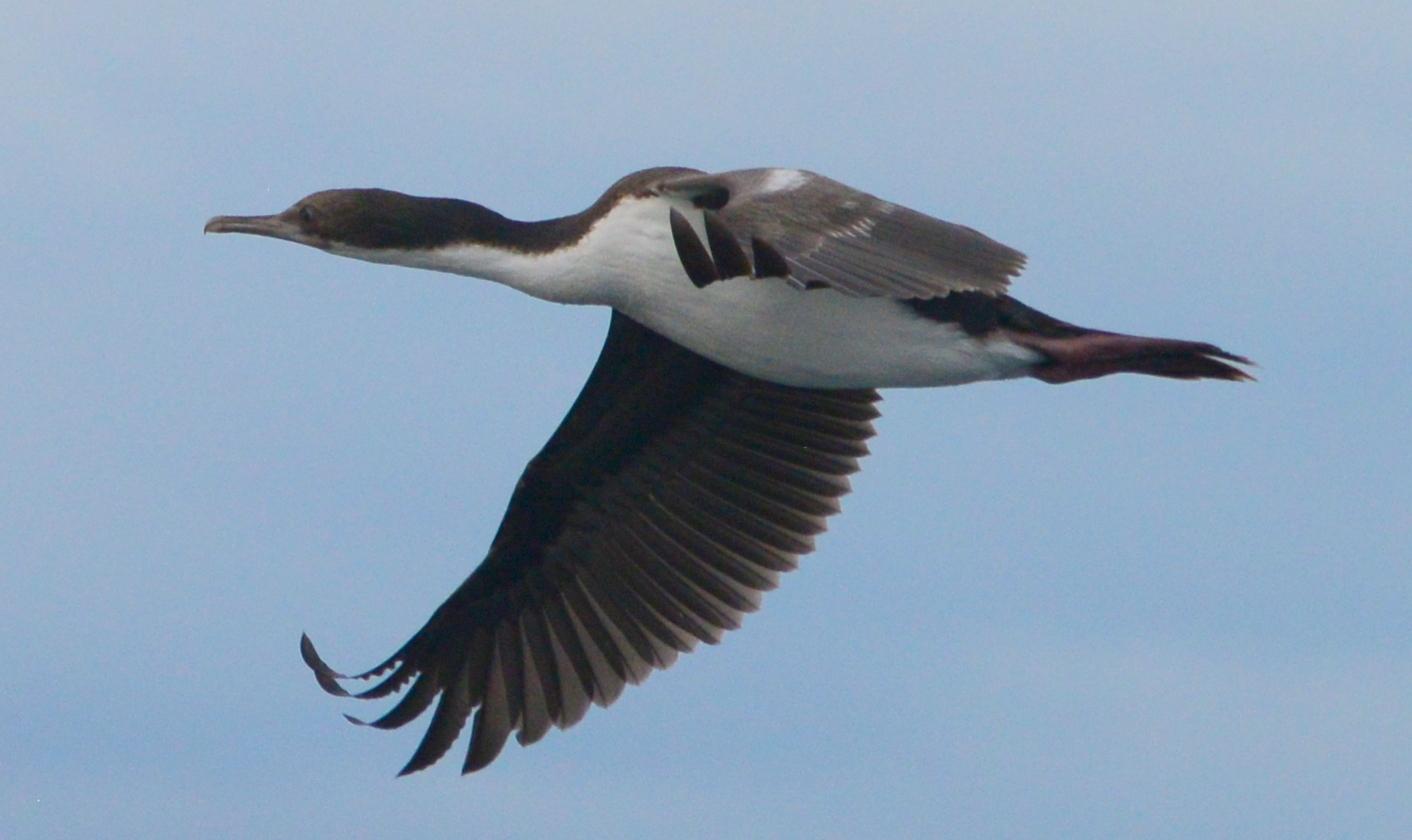 Image of <i>Phalacrocorax atriceps</i>