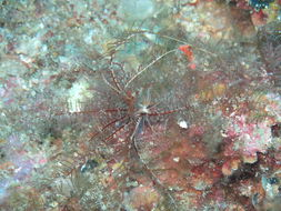Image of feather star