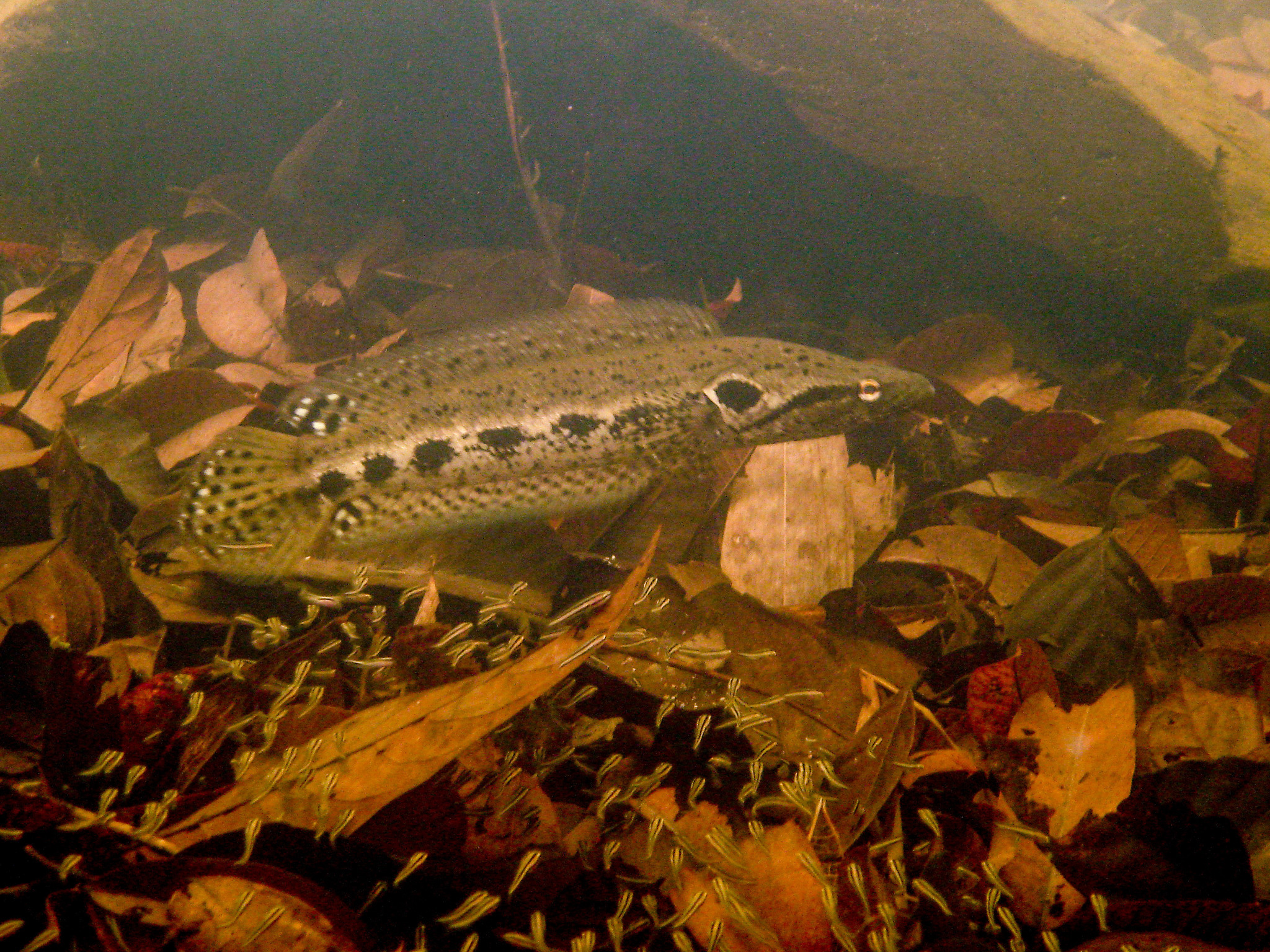 Image of Forest Snakehead