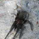 Image of <i>Kukulcania arizonica</i> (Chamberlin & Ivie 1935)