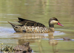 Image of Red-billed Duck