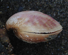Image of large South American lampshell