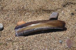 Image of Atlantic jackknife clam