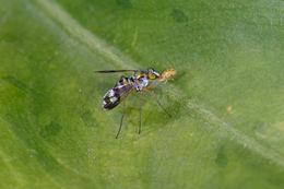 Image of <i>Austrosciapus proximus</i>