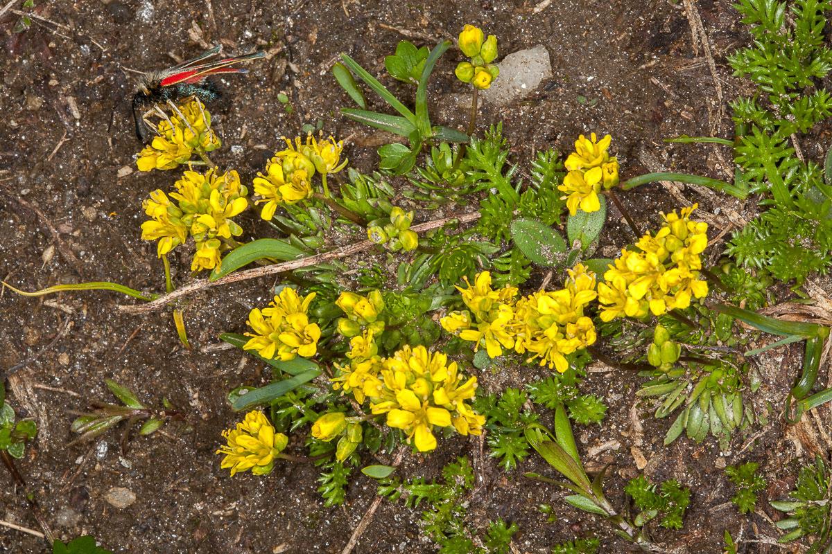 Image of <i>Draba aizoides</i>
