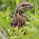 Image of Common quail