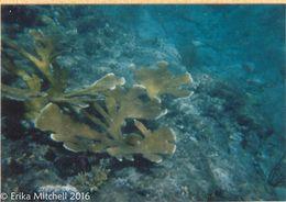 Image of <i>Acropora palmata</i> (Lamarck 1816)