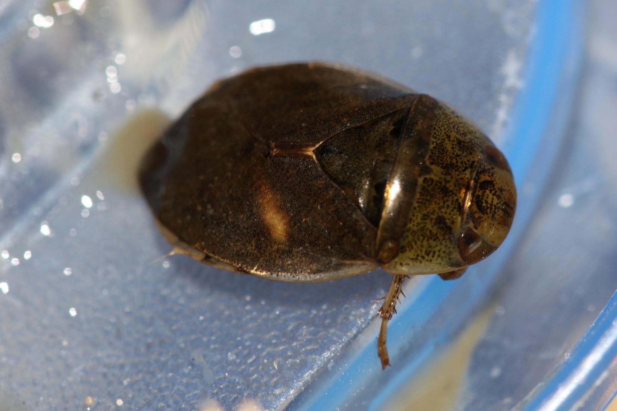 Image of <i>Ilyocoris cimicoides</i>