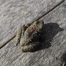 Image of Blanchard's cricket frog