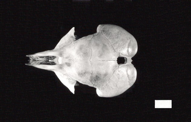 Image of <i>Dipodomys merriami olivaceus</i> Swarth 1929
