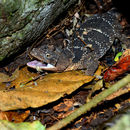 Image of Flathead Knob-scaled Lizard