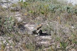 Image of San Salvador Rock Iguanas