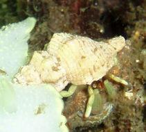 Image of greenmark hermit crab