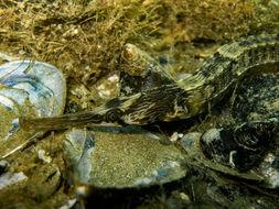 Image of Common Pipefish