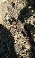 Image of digger crayfish
