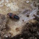 Image of Bark beetle